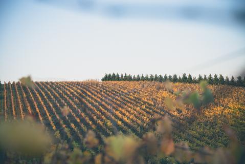 Austins vineyard - 6ft6 wine
